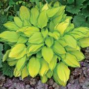 Island Breeze Hosta