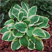 Royal Wedding Hosta