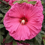 Jazzberry Jam Rose Mallow