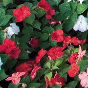 Sunny Lady Red Hybrid Impatiens Seeds