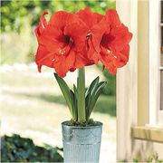 Single Orange Sovereign Amaryllis Gift Flower