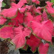 Cherry Tart™ Caladium - Pack of 5