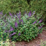 Lo & Behold® Blue Chip Jr. Buddleia image