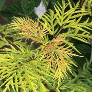 Lemony Lace® Elderberry