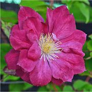 Red Star Clematis