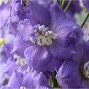 Lilac Ladies Delphinium