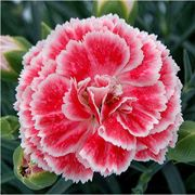 Dianthus Scent First® 'Coral Reef' image