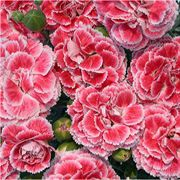 Dianthus Scent First® 'Coral Reef' Alternate Image 1
