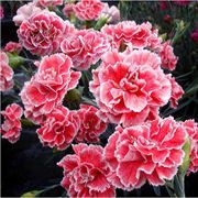 Dianthus Scent First® 'Coral Reef' Alternate Image 2