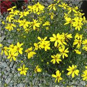 Electric Avenue Coreopsis