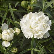 Dianthus Early Bird™ Frosty