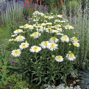 Real Glory Shasta Daisy