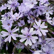 Early Spring™ Blue Phlox