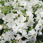 Early Spring™ White Phlox