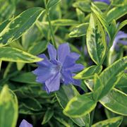 Moonlit Vinca minor