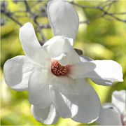 Spring Welcome® Magnolia