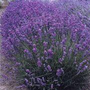 Violet Intrigue Lavender