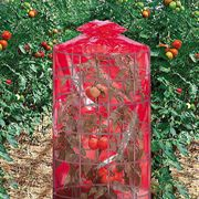 Better Reds® Greenhouse image