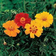 Disco Mix Marigold Seeds