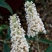 Buzz™ Ivory Butterfly Bush