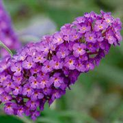 Buzz™ Purple Butterfly Bush
