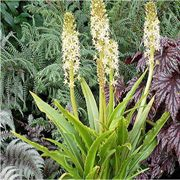 Glow Sticks Eucomis
