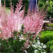 Astilbe Mighty Pip