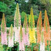Ruiters Hybrid Eremurus Mix - Pack of 3