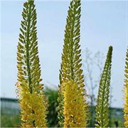 Eremurus stenophyllus - Pack of 3