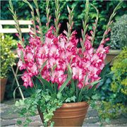 Glamini® Kelly Gladiolus - Pack of 5