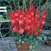 Glamini® Patty Gladiolus - Pack of 5
