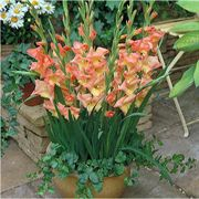 Glamini® Zoe Gladiolus - Pack of 5