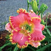Hemerocallis Diva's Choice image