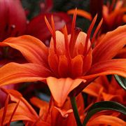 Red Twin® Asiatic Lily (pack of 3) image