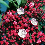 Ostbo Red Kalmia latifolia