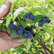 Berry Blue™ Honeyberry