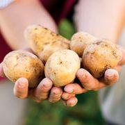 Kennebec Potato - 2 LB Bag Thumb