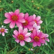 Coreopsis Heaven's Gate image