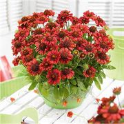Gaillardia Gallo™ Red