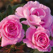 Wedding Party Floribunda Rose