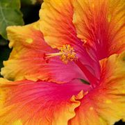 The Path Hibiscus