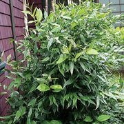 Disporum longistylum Green Giant