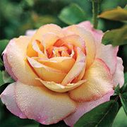 Peace 24-inch Tree Rose