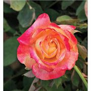 Summer Nights 36-inch Tree Rose
