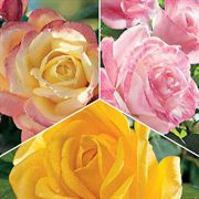 Most Fragrant Hybrid Teas Collection (3 2-quart containers)