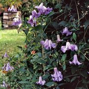 Clematis viticella Betty Corning
