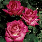 Signature® 36-inch Tree Rose