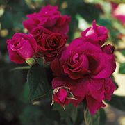 Intrigue 36-inch Standard Tree Rose