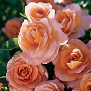 Day Breaker™ 36-inch Tree Rose
