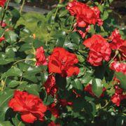 Sevillana® Shrub Rose